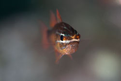 BD-130406-Tulamben-0611-Ostorhinchus-moluccensis-(Valenciennes.-1832)-[Moluccan-cardinalfish].jpg